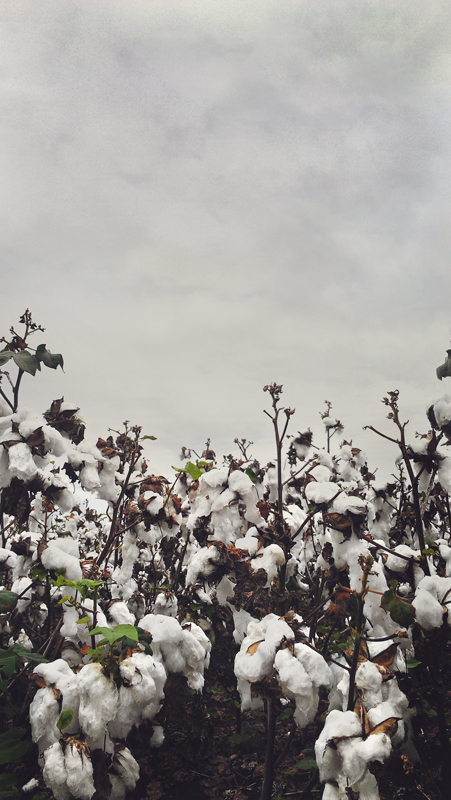 Texas cotton field