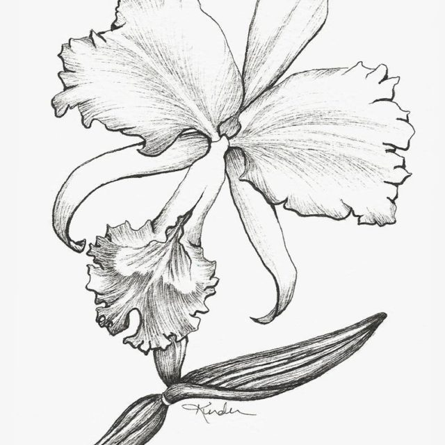 The drawing for the orchid Cattleya trianae the national flowerhellip