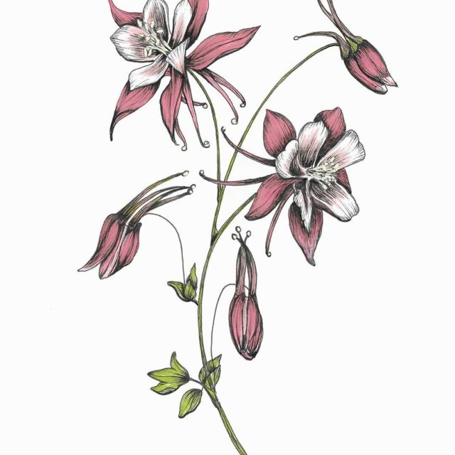 The columbine with color for the floralsyourway challenge today!