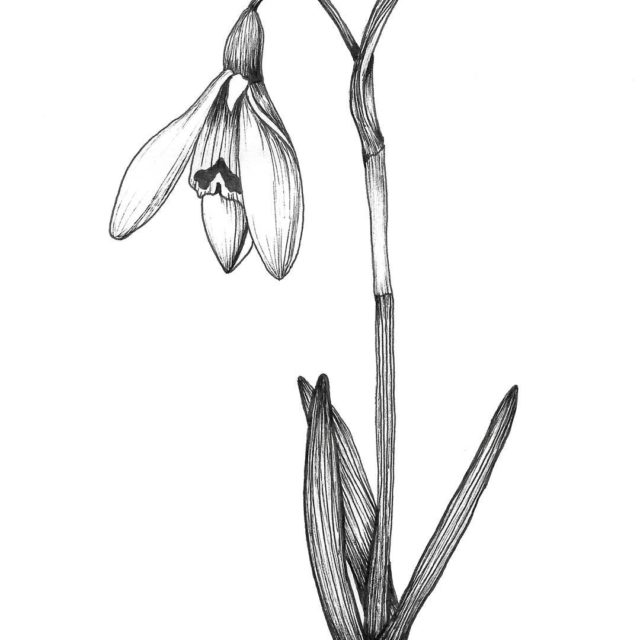 Sketching a snowdrop and dreaming of snow x2744x2744x2744 And tryinghellip